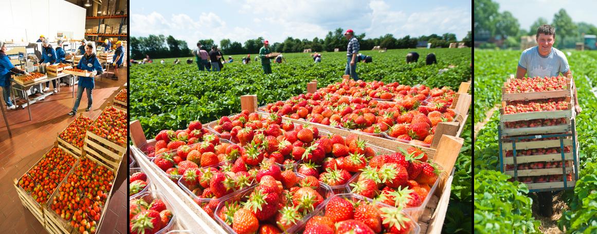 Erdbeer Verarbeitung